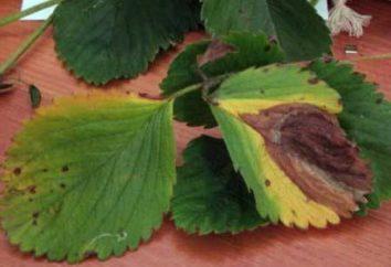 Choroby i szkodniki truskawki. główne odmiany