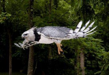 Harpie – un oiseau avec le nom mythologique