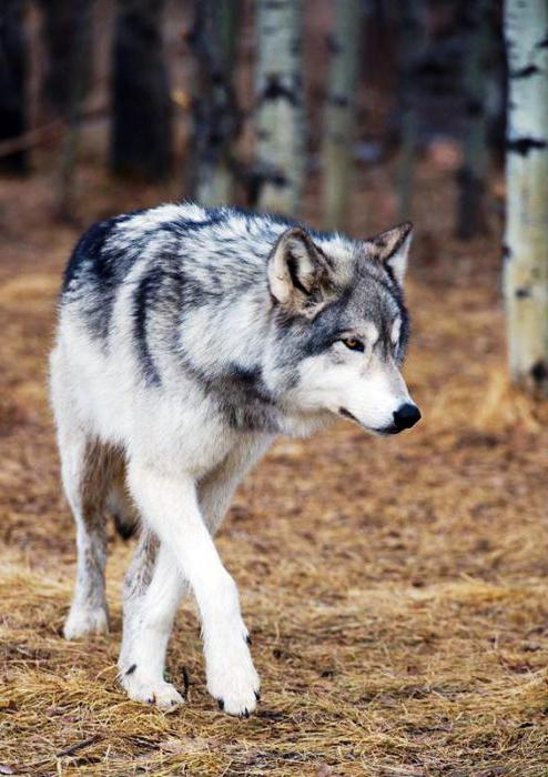 angriff wolf russland