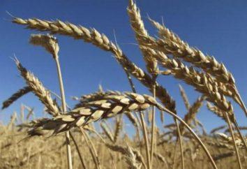 Was tun, die Weizen? Weizen Braga. Brotweizen