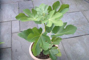Wie ein Feigenbaum zu Hause wachsen?