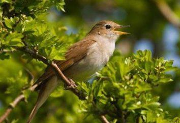 Nightingale – un uccello che canta … O non a tutti?