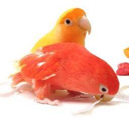 Jak określić płeć papugi? praktyczne porady
