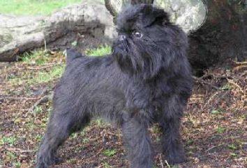 Griffin – raza de perro. raza de perro de Griffon – fotos, precio