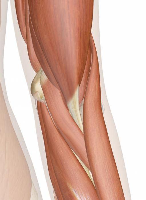 Ellenbogen Anatomie, Struktur, Funktion