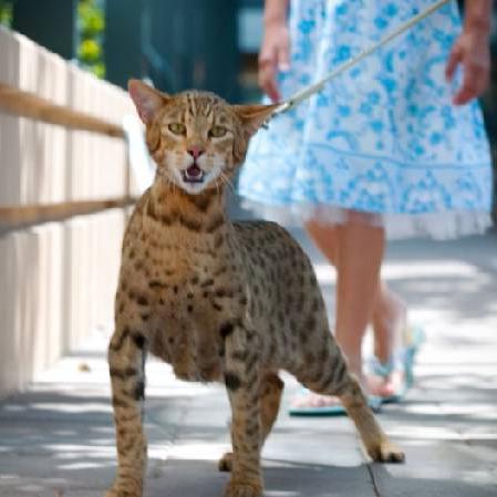 Kot Kot Mit Lub Sensacyjna Rzeczywistość
