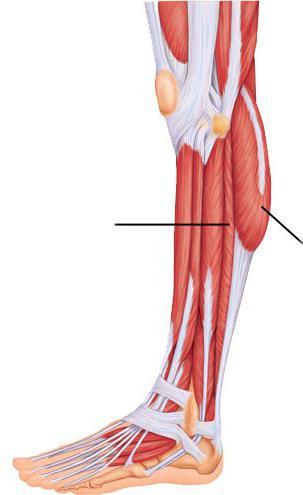 músculos de la pantorrilla, su ubicación, función y estructura. Los ...