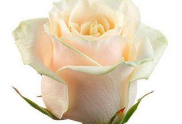 Taleo – rosa gratificante. Caratteristiche di cura