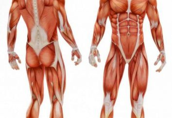Muscle-synergistes: exemples et description