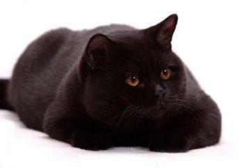 chat noir britannique: la description, caractéristiques, caractéristiques et commentaires