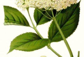 Co to jest starszy? Sambucus nigra: właściwości i zastosowanie terapeutyczne