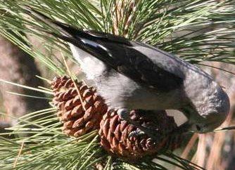 Orzechówka: ptak z tajgi