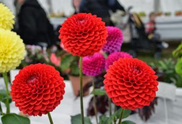 Comment planter dahlias au printemps? L'alimentation printemps dahlias?