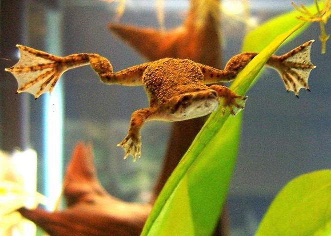 amphibien kiemen metamorphose