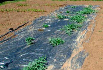 Les nuances de baies de plus en plus: quand planter des pastèques