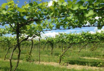 ¿A qué distancia de las uvas de plantas: consejos y sugerencias