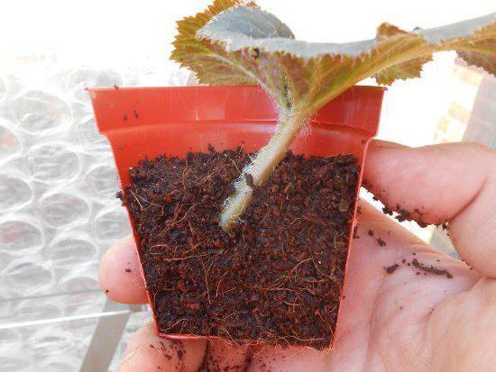 tuberous begonien vermehrung durch stecklinge in wasser. Black Bedroom Furniture Sets. Home Design Ideas