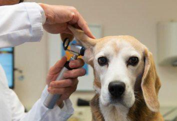 pies ucho cechy strukturalne. Choroby ucha u psów