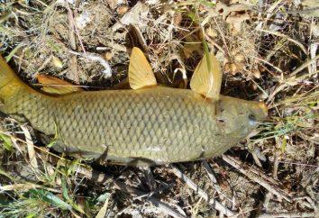 Attraper la carpe à l'automne: pêche et appâts