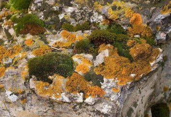 El musgo es diferente de algas. características de las especies