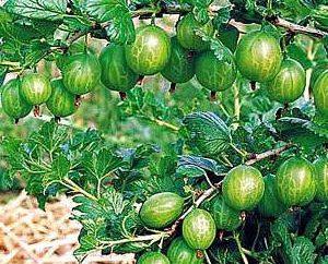 Come propagare uva spina? Riproduzione spina talee verdi, dividendo la bussola, stratificazione