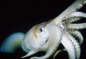 Calamar Humboldt – las misteriosas profundidades del mar gigante