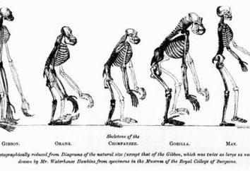 Les singes anthropoïdes et les hommes sont des similitudes et des différences. Types et signes de grands singes modernes