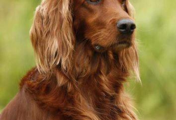 Pourquoi rêve de chien rouge? Dream book dira!