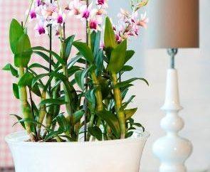 Dendrobium – un'orchidea che elevare l'umore