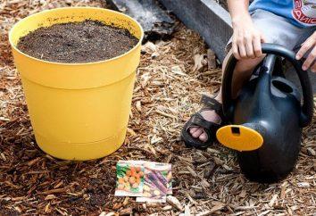 Come seminare le carote correttamente per ottenere un buon raccolto