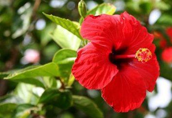 Hibiscus: propriedades úteis de Hibiscus chá