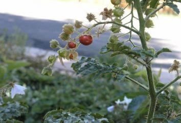 Que temperatura as mudas de tomate resistem na estufa, no chão aberto, na varanda, sob o material oculto, na estufa?