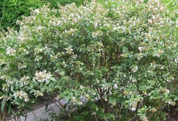 Abelia grandiflora: Descripción y reglas de cuidado