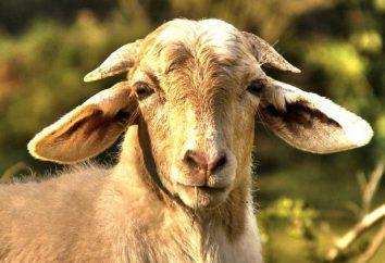 """Idiom """"Sidorova capra"""" e il suo significato"""