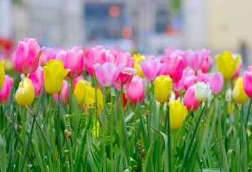 Come e quando piantare i tulipani in periferia?