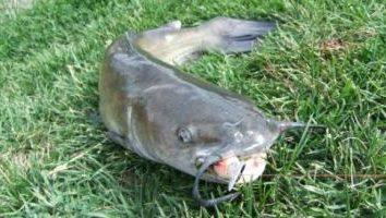Udane sum rybackie na Kwok i przez trollingu