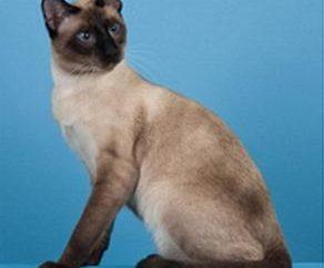Jaka jest natura kotów tajskich: czego oczekiwać od zwierzęciem tej rasy