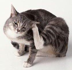 Gli acari dell'orecchio nei gatti: trattamento e la prevenzione