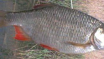 W poszukiwaniu trofeum. Rudd – jeziora i rzeki ryb