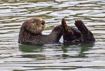 Come determinare la pelliccia di un castoro? castoro Kamchatka con preziosa pelliccia