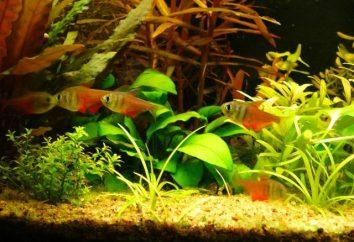 Une telle différence et inhabituelle Tetra (poisson)