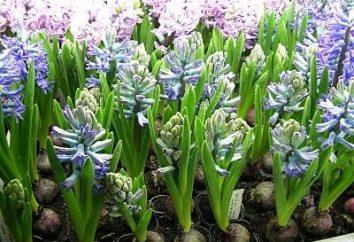 Expulse jacinthe: quand planter