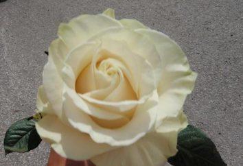Rose Mondial: królowa wśród białych róż