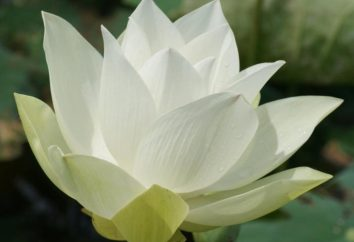 Lotus – il fiore di unione di maschio e femmina