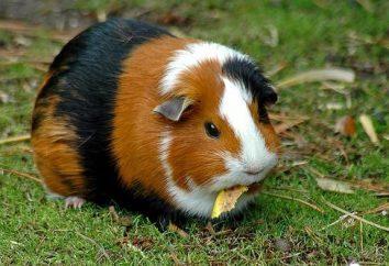 Zwierzęta: zjada świnkę morską?