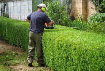 Przycinanie wiciokrzew jesieni. Wiciokrzew: sadzenie i pielęgnacja jesienią
