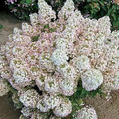 Hydrangea Bobo: la plantation et les soins. Hydrangea paniculata Bobo
