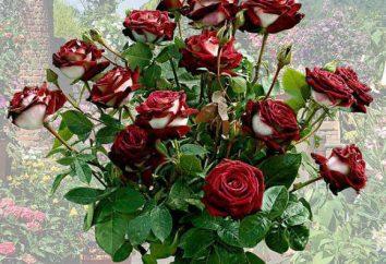 Rose Oshiro: description, la plantation et les soins