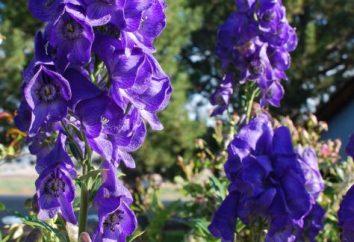 Zapaśnik – roślina z rodziny Ranunculaceae