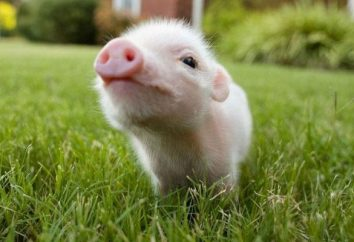 Interprétation des rêves: rêver de ce cochon?